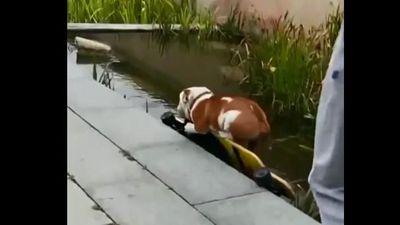 Bật cười với chú chó mải trượt ván lao thẳng xuống hồ