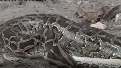 CLIP: Trận tử chiến của hai con trăn Miến Điện khổng lồ