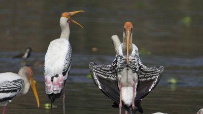 Chim họ hạc xoay người 'khoe thân' ghẹo nhiếp ảnh gia?