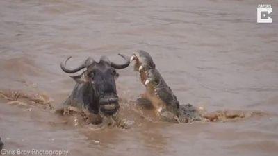 Cá sấu tung nhát cắn chí mạng dìm chết linh dương đầu bò đang qua sông