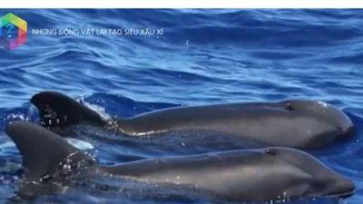 Khám phá những đứa 'con lai' kỳ dị nhất trong thế giới động vật: Cá Wholphin