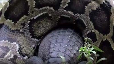 CLIP: Trăn khổng lồ nuốt sống cá sấu