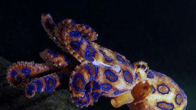 Loài bạch tuộc có nọc độc đủ giết 26 người trưởng thành