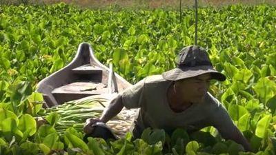 Kiên Giang: Làm giàu từ mô hình trồng cù nèo trên ruộng lúa