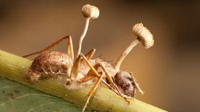 Nấm sát thủ rải bào tử biến côn trùng thành xác sống