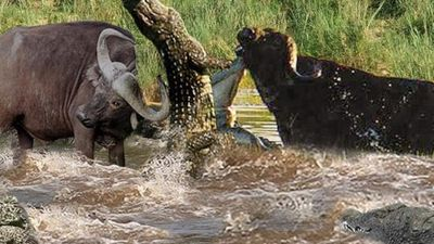 Cá sấu đơn độc chiến đấu với 'bữa ăn siêu to khổng lồ' và cái kết