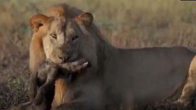 CLIP: Sư tử đực vô cớ giết chết 4 con linh cẩu
