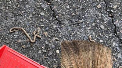 Quét sân gặp rắn biến dạng kỳ dị, càng hoang mang khi 'nghe danh'...