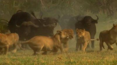 Trâu rừng kéo đàn tấn công bầy sư tử và cái kết bất ngờ