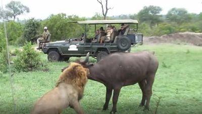 CLIP: Sư tử hạ gục trâu rừng trong 'một nốt nhạc'