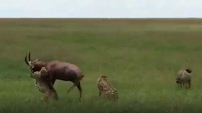 CLIP: 'Bóng đen' bất ngờ giải cứu linh dương thoát khỏi đàn báo săn