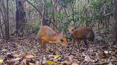 Phát hiện loài Cheo cheo Lưng bạc, tưởng đã tuyệt chủng tại Việt Nam