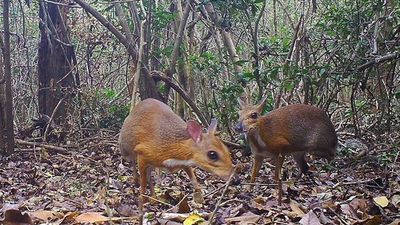 Phát hiện hươu chuột-bước tiến trong nỗ lực bảo tồn ở Việt Nam
