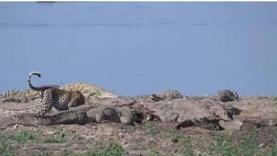 CLIP: Báo hoa mai 'ăn chực' của đàn cá sấu khổng lồ và cái kết