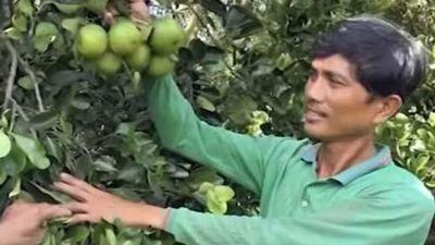 Đồng Tháp: Làm giàu nhờ trồng cam Cara ruột đỏ