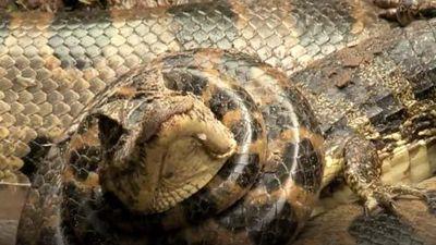 CLIP: Trăn anaconda khổng lồ đoạt mạng cá sấu