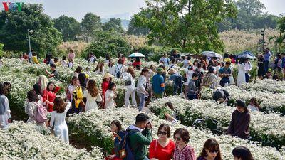 Cúc họa mi 'hút' khách đến vườn hoa Nhật Tân