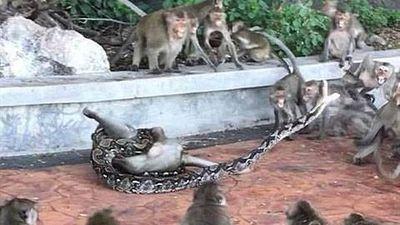 Bầy khỉ hoảng hốt tìm cách tấn công trăn để giải cứu đồng loại