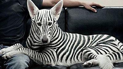 CLIP: 10 giống chó kỳ dị, đắt đỏ trên thế giới khiến bạn không tin chúng tồn tại