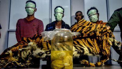 Indonesia bắt giữ 5 thợ săn cùng nhiều bào thai hổ Sumatra quý hiếm