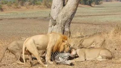 CLIP: Đàn sư tử đoạt mạng ngựa vằn trong chớp mắt