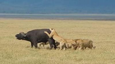 CLIP: Trâu rừng bỏ mạng dưới móng vuốt của đàn sư tử