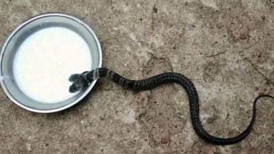Phát hiện rắn hổ đất hai đầu, dân làng không bàn giao cho cứu hộ vì cho là rắn thiêng