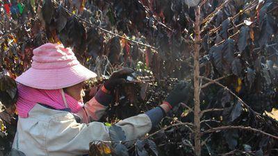 Nhiều nông dân Sơn La trắng tay vì sương muối