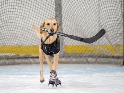 Chú chó Labrador đến từ Las Vegas Mỹ đã trở thành tâm điểm của Internet sau khi thể hiện khả năng trượt băng điêu luyện của mình