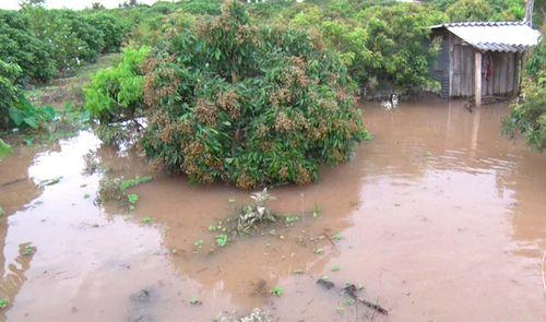 Triều cường gây vỡ cống đập, cả trăm ha vườn cây ăn trái bị ngập