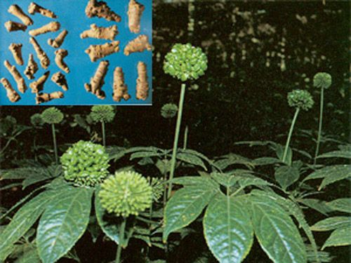 Hoa tam thất - Vị thuốc hạ huyết áp