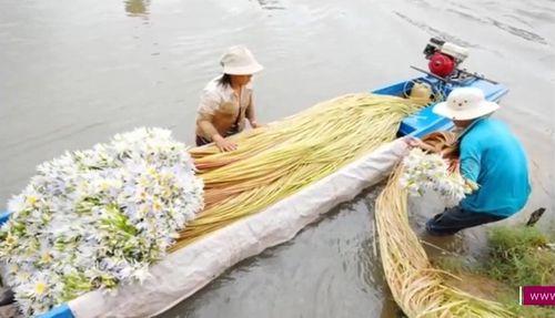 Mùa nước lũ, dân miền Tây nô nức sang Campuchia hái bông súng về bán