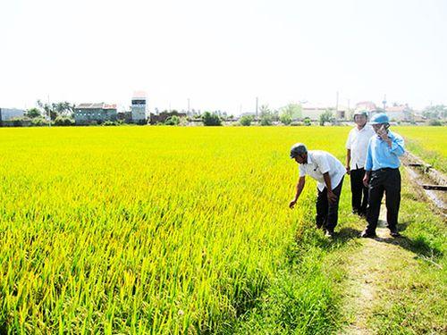 Vạn Ninh: Xây dựng bộ giống lúa đặc thù