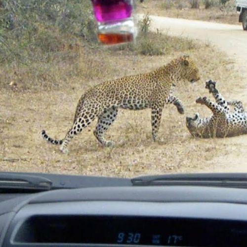 Báo đốm châu Phi tử chiến giành địa bàn ngay trước mặt du khách