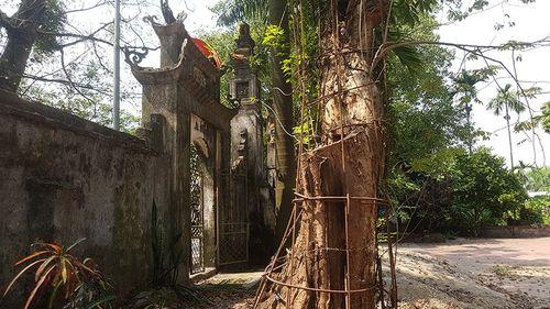 Ly kỳ cuộc chiến bảo vệ những gốc cây trị giá cả trăm tỷ đồng của các lão nông Việt