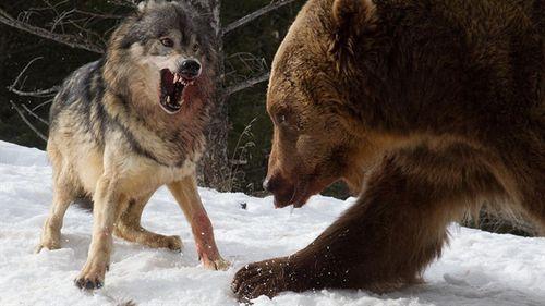 Sói bất lực nhìn đồng loại bị bầy gấu xé xác