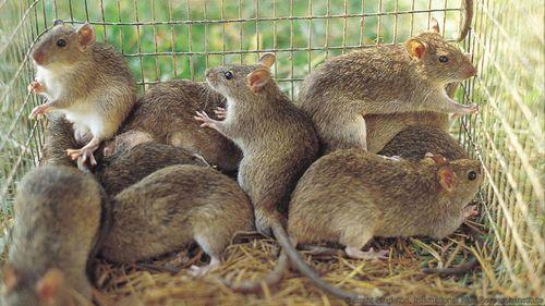 Khi thịt chuột là món ngon thượng hạng