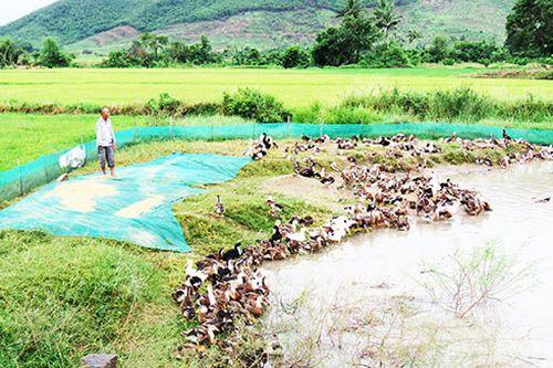 Vạn Ninh: Chủ động phòng, chống dịch bệnh cho gia cầm
