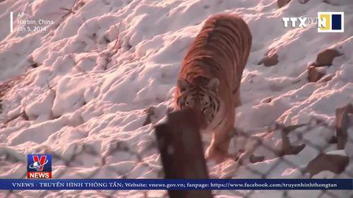 Trung Quốc cấm dùng sừng tê giác, xương hổ làm thuốc