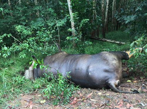 Điều tra nguyên nhân khiến bò tót chết trong khu bảo tồn