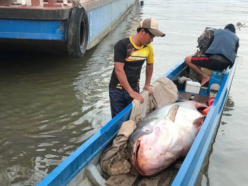 Người dân mua con cá tra dầu nặng 240kg