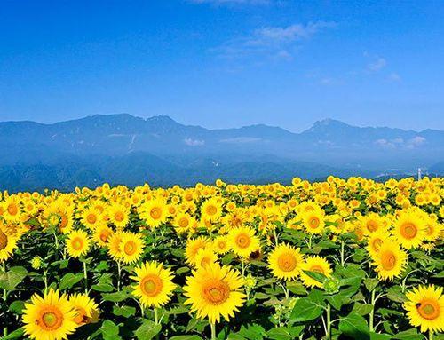 Hàng loạt sao đăng ảnh hoa hưởng ứng 'Ngày hội hoa hướng dương'