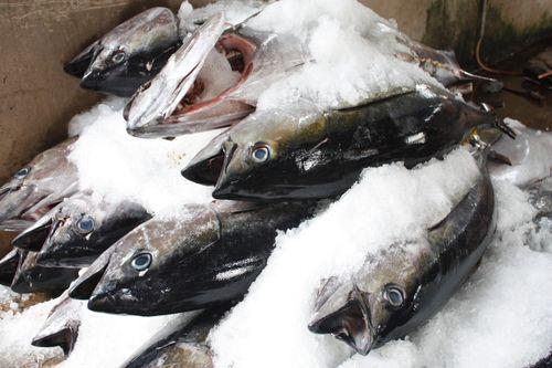 Xuất khẩu cá ngừ có nhiều chuyển biến tốt
