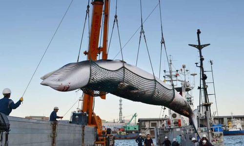 Nhật Bản rút khỏi ủy ban cá voi quốc tế bất chấp chỉ trích