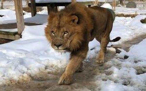 Sư tử sổng chuồng vồ chết thực tập sinh ở Mỹ
