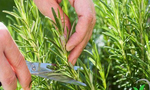 Khám phá thú vị về cây hương thảo quen thuộc ở VN