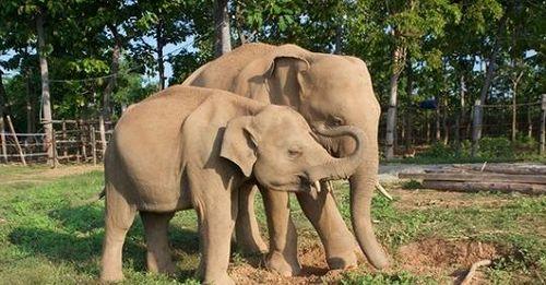 Animals Asia tài trợ Trung tâm Bảo tồn voi Đắk Lắk 60.000 USD