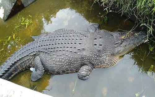 Nhà khoa học bị cá sấu dài hơn 5 mét kéo xuống hồ ăn sống