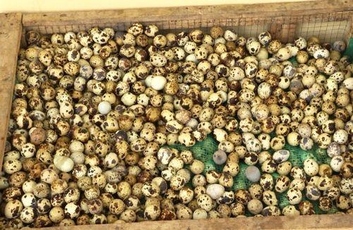 Tiêu hủy hơn 6.000 trứng cút không đảm bảo vệ sinh an toàn thực phẩm