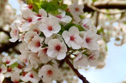 Năm 2019, hoa anh đào Nhật Bản nở sớm